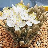 Avonia quinaria ssp Alstonii