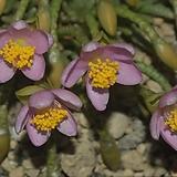 알스토니 수입씨앗5 립(연핑크) Avonia quinaria ssp Alstonii