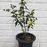 ♥망종화 ♥여름 노란꽃 갈퀴망종화(금사매) 