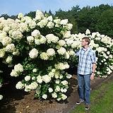 목수국 개화주 라임라이트|Hydrangea macrophylla