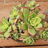 까라솔 81|Aeonium decorum f variegata