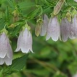 야생화 오색기린초 포트 5개