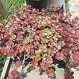 단풍잎세덤완성화분