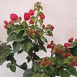 꽃몽우리 가득~부겐베리아,중대품C735-굵은목대,동일품배송