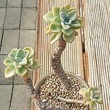 올펫묵은둥이3두자연(대품) Echeveria Orpet