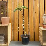 황칠나무 