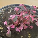 신품종 목베고니아 핑크꽃 공기정화식물  한빛농원