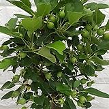 ♥사과나무 ♥애기사과나무30 