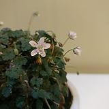 미니풍로초 흰겹꽃 