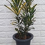 ♥크로톤15 ♥공기정화식물 