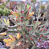 원종방울복랑금(한몸군생)6-270|Cotyledon orbiculata cv variegated
