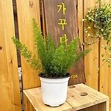 아스파라거스메이리 개업선물 인테리어 식물 