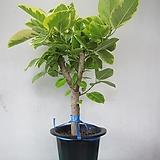 뱅갈Ficus elasticaC768-공기정화식물,굵은桩,동일품배송