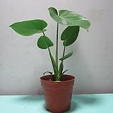 C778-공기정화식물,동일품배송