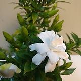 (단품)소엽치자 꽃몽우리가득 Echeveria Riga