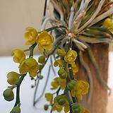 (단품)거미난 노랑꽃 