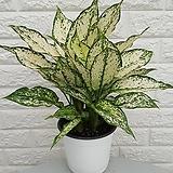 ♥스노우사파이어 ♥공기정화식물 Echeveria Sapphire