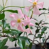 분홍백화등(단품)|