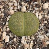 生石花알비니카0622-97