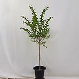 (동일품) 베롱나무 외목대 목백일홍 