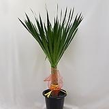(동일품) 굵은 유카 마닐라유카     전체 145센치내외, 식물 120센치내외 