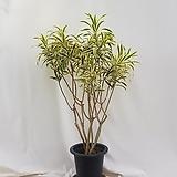 (동일품) 송오브인디아     전체 125센치내외, 식물 105센치내외 