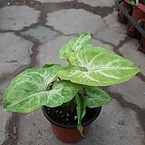 네온싱고니움/골드올루션 수입식물|