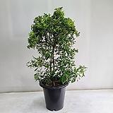 피라칸사스/공기정화식물/반려식물/온누리 꽃농원|