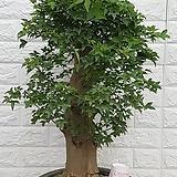 ♥당단풍 나무150♥ 