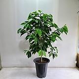 커피나무 대형/공기정화식물/반려식물/온누리 꽃농원|