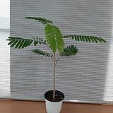 피나테아카시아/수입식물|