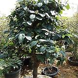 모과나무(정원용) 