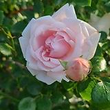 4계명품수입넝쿨장미.스니코니긴.러블리메이양(예쁜겹형.예쁜핑크색).꽃형예쁜형.old rose 향기.아주예뻐요.울타리.넝쿨장미.월동가능.상태굿..늦가을까지 피고 합니다.~ Echeveria Lovely