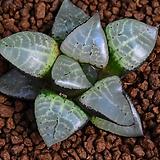 Haworthia comptoniaHaworthiacomptonia110