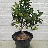 ♥사과나무 (부사)♥ Sedum torereasei