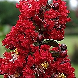 신품종 배롱나무 다이너마이트 