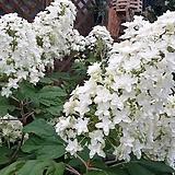 수국. 떡갈잎 수국.겹꽃.월동가능.흰색꽃.고급종.노지월동!!!.화단에 심는용도로 좋습니다.깨끗하니 예쁘네요~ 
