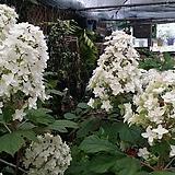 수국. 떡갈잎 수국.겹꽃.월동가능.흰색꽃.고급종.노지월동!!!.화단에 심는용도로 좋습니다.깨끗하니 예쁘네요. 
