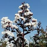 신품종 자엽배롱나무 블랙다이아몬드 흰색 포트|