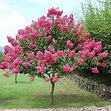 목백일홍.베롱나무.핑크색꽃.월동가능.고급종.노지월동!!!.화단에 심는용도로 좋습니다.화사하니 예쁘네요..
