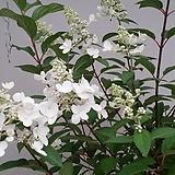 수국. 바닐라프레이즈수국.귀한상품.월동가능.흰색꽃.고급종.노지월동!!!.화단에 심는용도로 좋습니다.깨끗하니 예쁘네요. 