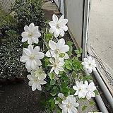 큰꽃으아리-백설공주 클레마티스VPOV 보호종  