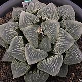 빙상의무(氷上の舞) 자구 - 주성농원 (Haworthia Hyozo-no-mai, offset)|