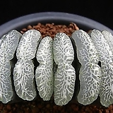옥선 단지리 자구 - 주성농원 (Haworthia truncata Dahnjiri, offset)|