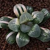 뇌조금 무지 자구 - 주성농원 ( Haworthia cv. 'Raicho' non-variegated offset)|