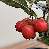 루비산사 열매(단품)|