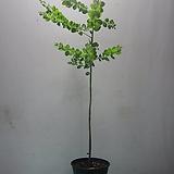 둥근叶子아카시아C792-等桩,동일품배송
