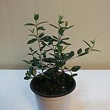 올리브나무 소품 