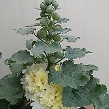 접시꽃 노랑겹꽃|