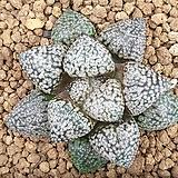 픽타 실생 1|Haworthia picta